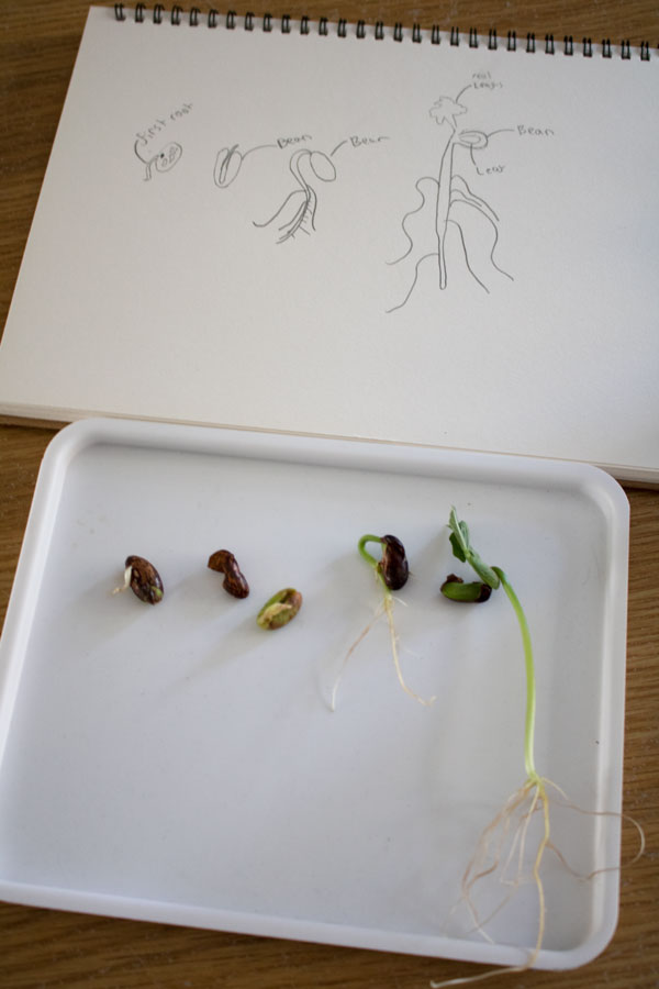 plant experiment scientific drawing with stages from seed to leaves forming of a bean