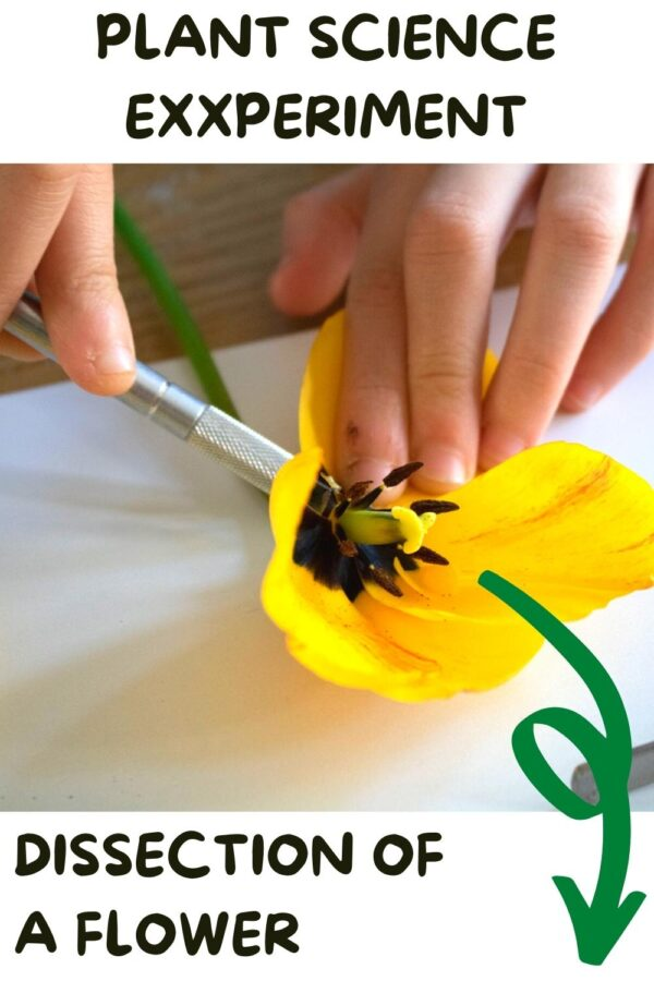 Pinnable image for Plant Science Experiment Dissection of a flower