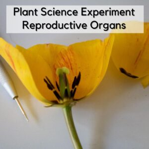A picture of a dissected tulip showing the male and female reproductive organs with a dissection needle beside. Text on the image reads Plant Science Experiment Reproductive Organs