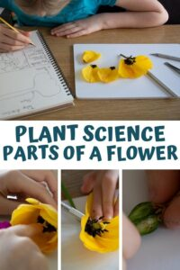 Pinterest image for plant science parts of a flower dissection experiment for kids in key stage 2 and 3