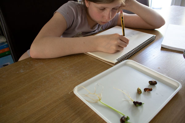 girl making science drawings of a plant growth experiment to see the stages that happen from seed to leaves forming under the soil