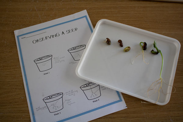 seed observation sheet from the rainy day mum pack next to a tray containing 4 stages of bean development from first root through to the first 2 real leaves forming a simple science experiment for plant development and growth for kids