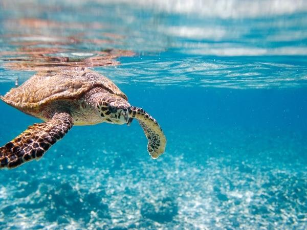 a picture of a sea turtle swimming in the shallow clear waters of the ocean