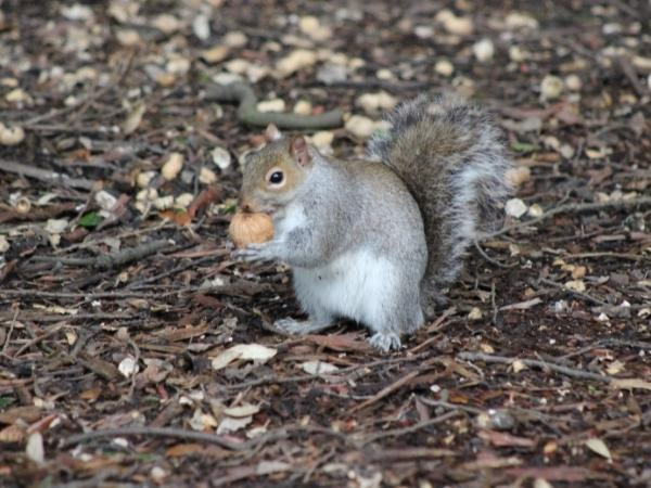 a grey squirrel on the ground holding a nut in autumn